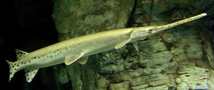 Picture Of A Gar Fish   The Border Life